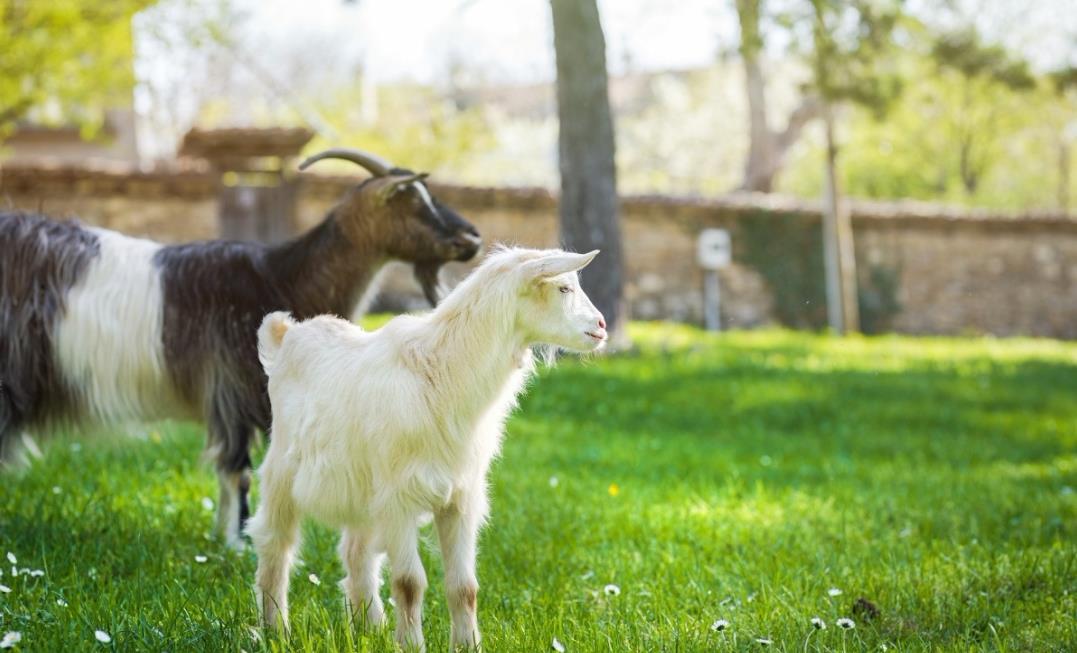 羊奶的营养价值及对各年龄段人群的好处